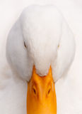 White Duck Hi-Key Close-up Portrait Stock Photos