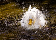 Free White Duck In A Splash Royalty Free Stock Images - 5123289