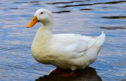 White duck. In a lake Stock Photos