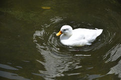 White duck on the lake. White ducks are swimming in the lake Stock Photo