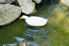 White duck is looking for food Royalty Free Stock Images