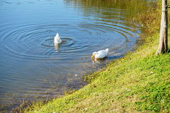 White duck is looking for food stock photo
