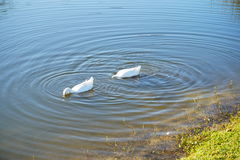 White duck is looking for food stock photography