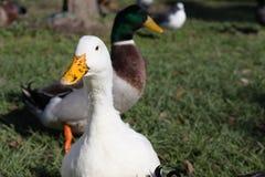 White duck with muddy wet beak (bill) Royalty Free Stock Image