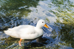 White duck. Nature white duck on water Royalty Free Stock Images