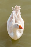 White duck orange beak Royalty Free Stock Images