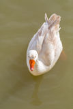 White duck orange beak Stock Photography