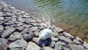 White duck with orange beak walking on the rocks towards the water. And starts swimming in the pond stock video