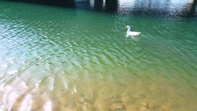 White duck with orange beak swimming in the pond on a sunny day. White duck with orange beak walking towards the water and starts swimming in the pond stock video