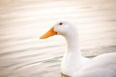 White Duck Peking. A white peking duck swimming at sunset Stock Image