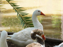 White duck Royalty Free Stock Photos