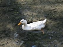 White Duck on Pond. Taking a relaxing swim Stock Image