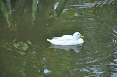 White duck  in the pond in the park Royalty Free Stock Photos