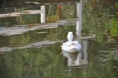 White duck  in the pond in the park Stock Images