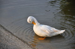 White duck  in the pond in the park Royalty Free Stock Image
