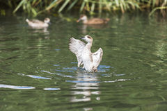 A white duck on a pond. Rapidly flapping it's wings Royalty Free Stock Photography
