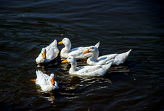 White duck in pond. White duck swiming in pond at zoo Royalty Free Stock Photos