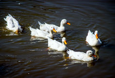 White duck in pond. White duck swiming in pond at zoo Royalty Free Stock Photo