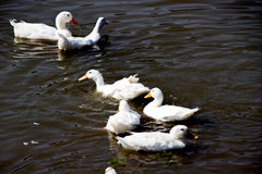 White duck in pond. White duck swiming  in pond at zoo Royalty Free Stock Photography