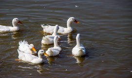 White duck in pond. White duck swiming in pond at zoo Stock Photography