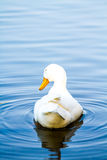 White duck in pool, chiangmai Thailand.  Royalty Free Stock Photo