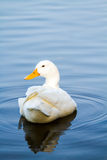 White duck in pool, chiangmai Thailand Stock Photography