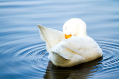 White duck in pool, chiangmai Thailand.  Stock Images