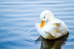 White duck in pool, chiangmai Thailand Stock Images