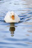 White duck on a pool Stock Image