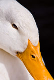 White Duck Portrait on Black Background. Close-up portrait of a domestic white duck on a black background royalty free stock images