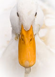 White Duck Portrait with Dirty Water Splash Stock Photo