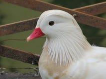 White duck portrait. A white duck head portrait with wooden lattice in background stock photo