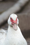 White duck in the poultry yard. White domestic duck in the poultry yard Royalty Free Stock Photo