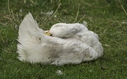 Free White Duck Preening Royalty Free Stock Photos - 114973078