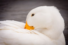 White Duck Preening Itself. Close-up portrait of a domestic white duck  - Pekin Duck - preening itself Royalty Free Stock Photography