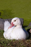 White Duck Red Beak Sitting Pond Royalty Free Stock Images