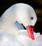 White duck with red bill Royalty Free Stock Photography