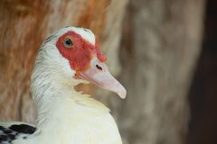 White Duck with red spots around eyes stock images