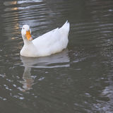 White duck with reflection in the water Royalty Free Stock Images