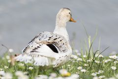 Duck rest on lake. White duck rest on lake Royalty Free Stock Photos
