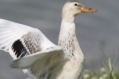 Duck rest on lake. White duck rest on lake Stock Photography