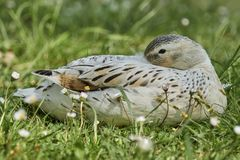 Duck rest on lake. White duck rest on lake Stock Photo