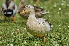 Duck rest on lake. White duck rest on lake Stock Image