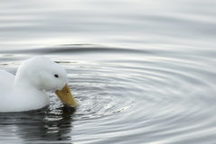 White duck and ripples. A Beautiful white duck causes ripples in the water as it drinks Stock Image