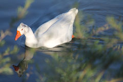 White duck Stock Image