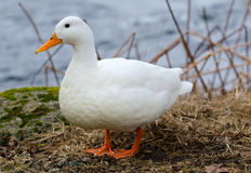 Spring portrait of white duck Stock Image