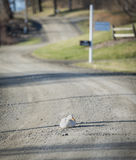 White Duck in the Road Royalty Free Stock Photography