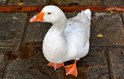 White Duck On Road. White duck walking on road stock photo