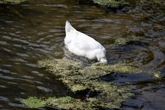 White Duck Searching For Food Royalty Free Stock Images