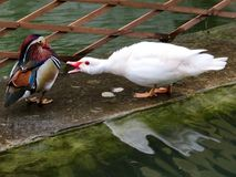 White duck showing agression towards a Carolina Wood duck. Reflected in rippling water royalty free stock images
